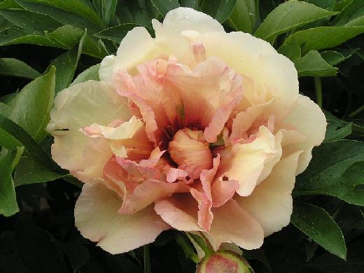 Paeonia ITOH Canary Brilliants