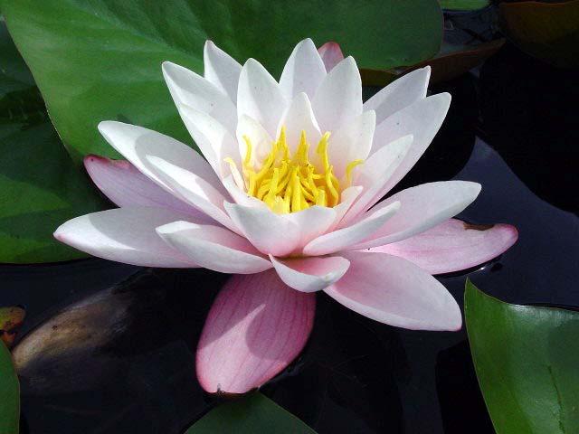 Как называться кувшинки цветы
